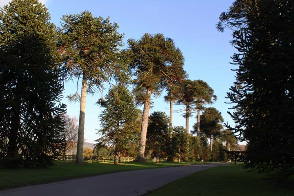 The Monkey Puzzle avenue at Bicton College, Devon (Winter 2012)